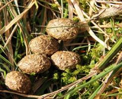 モルモット 食べる 糞 肥料