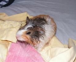 モルモット 飼育 風呂 頻度