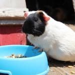 モルモットの飼い始めの頃の餌はどうすればいい?
