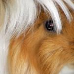 モルモットの毛がベタベタとして固まる事と長い毛について