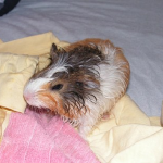 モルモットを飼育している時にお風呂の頻度は?